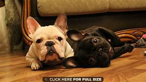 bulldog wallpapers, photos and desktop backgrounds up to ...