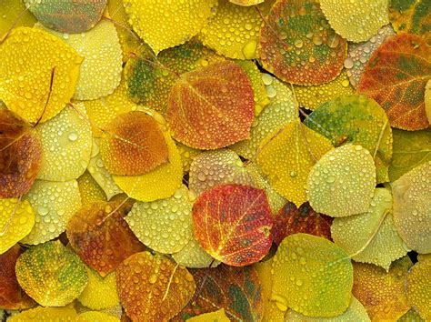 fall aspen leaves on the ground covered photograph by tim fitzharris