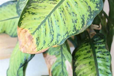 gelbe blätter bei blumen pflanzen doktor gelbe bl 228 tter braune blattspitzen an zimmerpflanzen