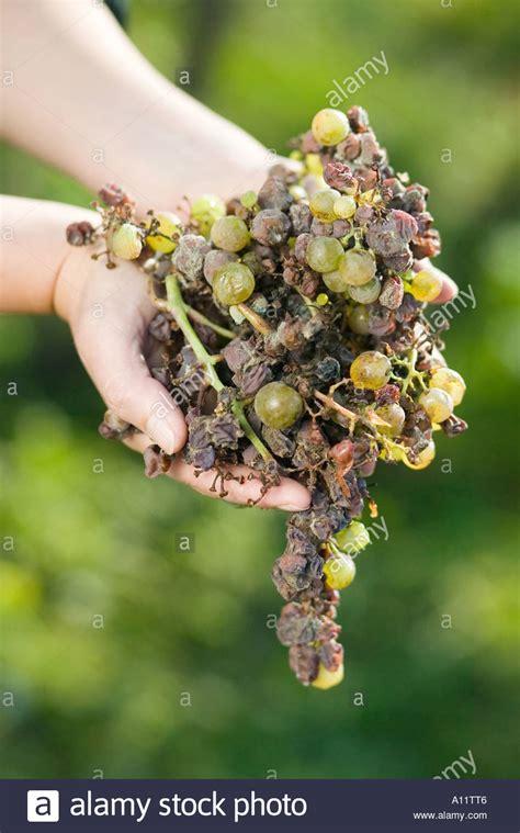 http://www.alamy.com/stock-photo-botrytis-pilz-botrytis-cinerea-grape-gathering-fo-selection-wine-noble-5780357.html