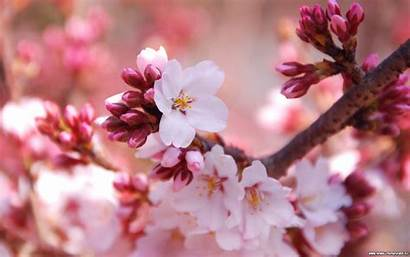 Blossom Cherry Background Wallpapers Blossoms Backgrounds Wallpapersafari