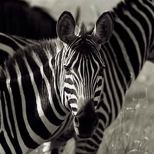 Schwarz Weiß Bilder Tiere : leinwandbild bild bilder tiere zebra schwarz wei ebay ~ Markanthonyermac.com Haus und Dekorationen