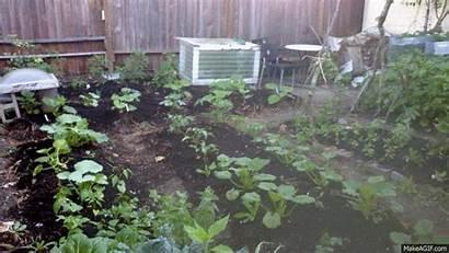 Garden Vegetable Animated Gifs Backyard Soil Lettuce