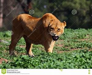 Angry Lioness Stock Images - Image: 18352104