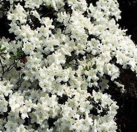 azalea japonica en pot toller azalea japonica quot schneewittchen quot strauch www pflanzenversand de