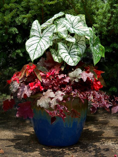caladium plant on container garden container