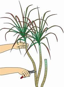 Drachenbaum Schneiden Video : drachenbaum abschneiden das m ssen sie beachten garten ~ Watch28wear.com Haus und Dekorationen