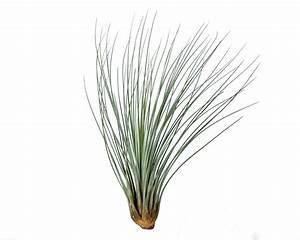 Tillandsia Juncea - Corsa Air Plants Webshop