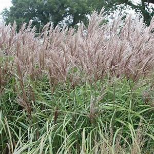Buy Chinese silver grass Miscanthus sinensis Malepartus: £ ...