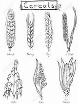 Barley Wheat Coloring Drawing Millet Tattoo Rice Plant Rye Hand Grains Cereal Drawings Easy Cereals Farm Draw Grain Illustration Sketches sketch template
