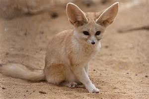 Fennec Fox Hunting | www.imgkid.com - The Image Kid Has It!