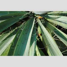 Yucca Plant Pests And Diseases