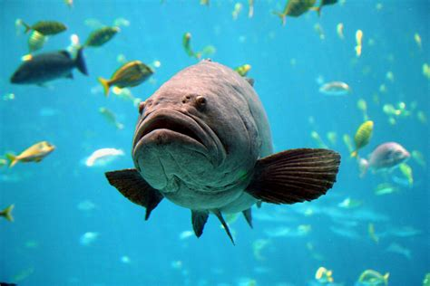 grouper goliath fish ciguatera toxin reef florida open huge sea commons creative gerald carter openlearn under majestic overfished flickr stalks