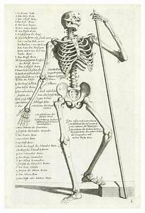 U0026 39 Anatomical Diagram Showing Human Skeleton  Front View