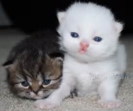 teacup cats teacup kittens hevenlisent whites chinchillas