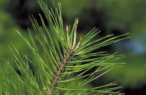 spruce pine tree selection landscape plants edward  gilman ufifas