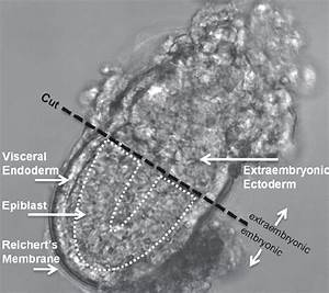 5 5 Dpc Mouse Embryo  Tissues Are Labeled And Indicated