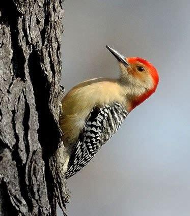 red bellied woodpecker identification all about birds