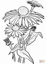 Coloring Daisy Daisies Printable Flowers Drawing Supercoloring Categories Paper sketch template