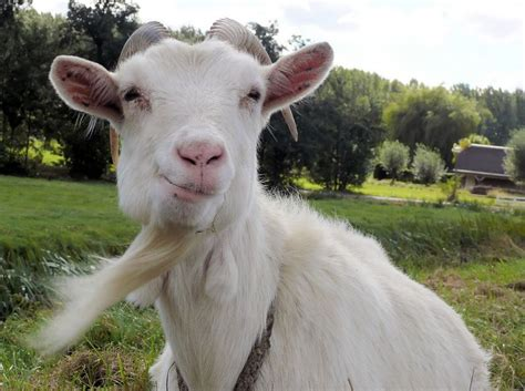 Cabra Meme - never underestimate a goat it s not as stupid as it looks science smithsonian