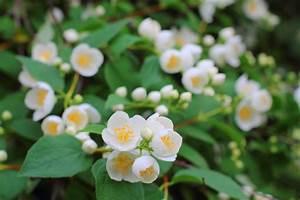 Jasmin Pflanze Pflege : falscher jasmin schneiden so bringen sie ihn in form ~ Markanthonyermac.com Haus und Dekorationen