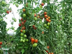 Planter Graine Tomate : tomate de berao la bo te graines ~ Dallasstarsshop.com Idées de Décoration