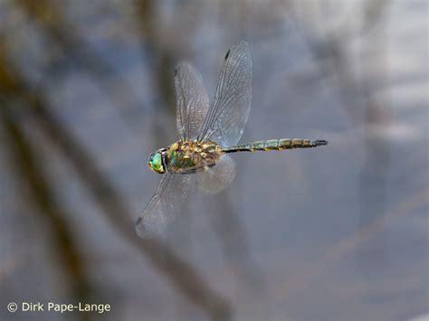 möbel preiser riedern am wald gefleckte smaragdlibelle somatochlora flavomaculata