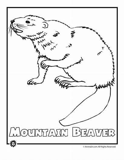 Endangered Coloring Beaver Animal Animals North America