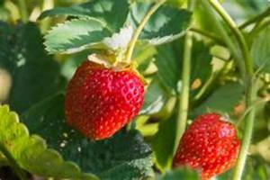 Erdbeeren Wann Pflanzen : erdbeeren als mischkultur gute und schlechte nachbarn ~ Frokenaadalensverden.com Haus und Dekorationen