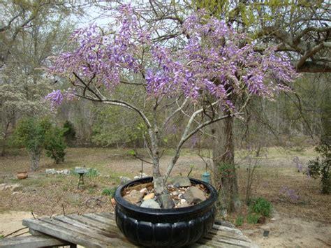 wisteria grown in pots transplanting wisteria helpfulgardener