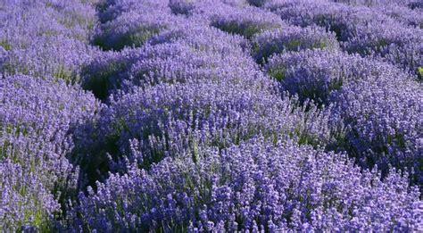 planting lavender seeds xun yi cao zi mini plant with lavender seeds buy mini plant with lavender seeds mini plant