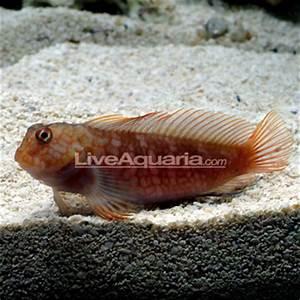 Saltwater Aquarium Fish For Marine Aquariums Ember Blenny