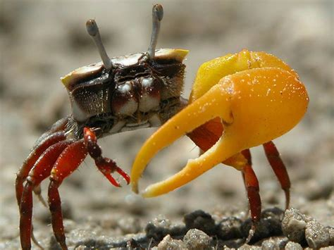 fiddler crab fiddler crab genus uca our wild world
