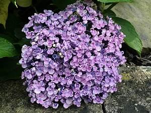 Hydrangea Macrophylla Winterhart : hydrangea macrophylla 39 ayesha 39 maryflower ~ Michelbontemps.com Haus und Dekorationen