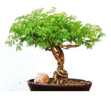 jenis tanaman berbunga dijadikan bonsai
