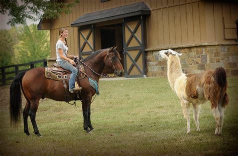 dixon smart lil gelding bay horse jac horses