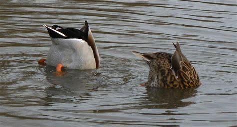 ways understanding  ducks diet leads