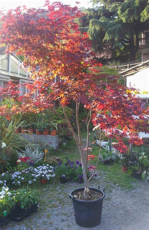acero giapponese in vaso acero rosso giardino tuchel