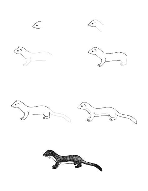 draw  long tailed weasel lots  animal drawing