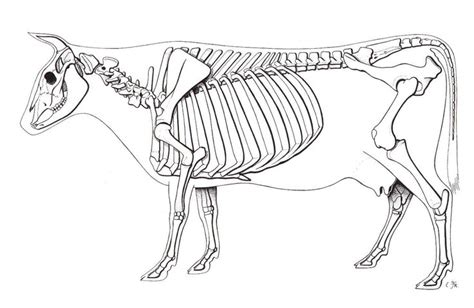 skeleton animal skeletons pinterest  animals