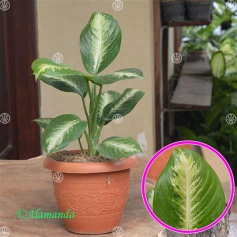 jual tanaman hias dieffenbachia bludru daun bahagia