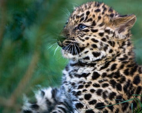 Spot The Differences Between Leopards Jaguars And