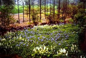 Creeping Phlox Ground Cover Garden