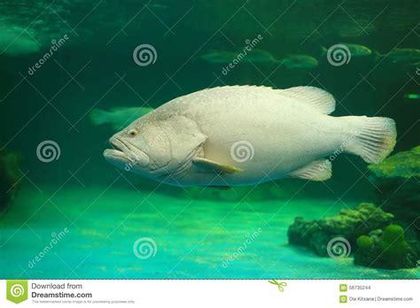 grouper goliath atlantic atlantischer atlantisch mangrove young behavior