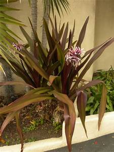 Crinum amabile - Queen Emma Lily : Grows on You