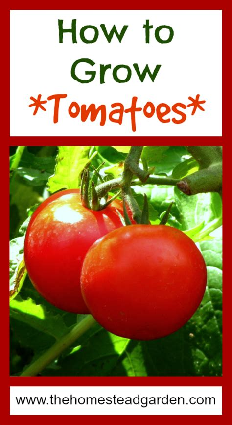 how to grow tomato at home how to grow tomatoes the homestead garden the homestead garden