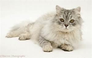 Chinchilla Persian cat photo WP12760
