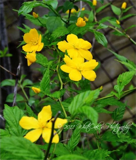 yellow flower vines pictures day 30 yellow flower vine redgage