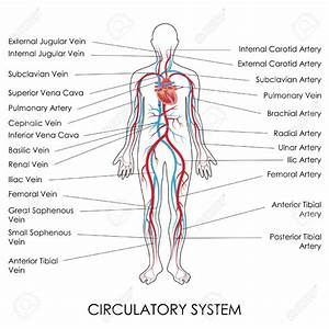 Circulatory System Diagram For 5th Grade