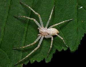 Weiße Spinne Deutschland : philodromus longipalpis wiki der arachnologischen gesellschaft e v ~ Orissabook.com Haus und Dekorationen